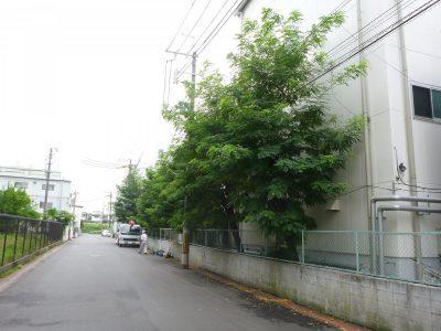 電線にかかってしまったニセアカシアの強剪定 大阪府枚方市