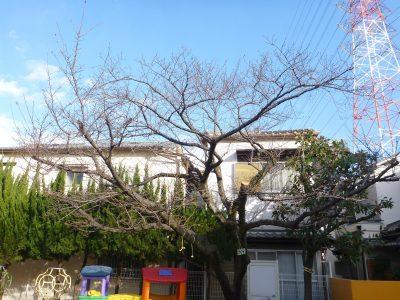 保育園のタイサンボク強剪定、桜の枯れ枝除去、アラカシ剪定