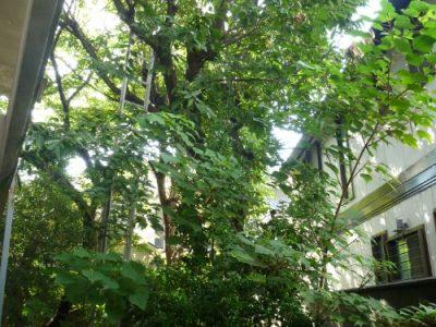 8mのクヌギの大木を伐採してほしい|隣家からの苦情に対応 大阪府豊中市