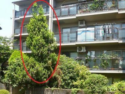 伸びすぎた月桂樹