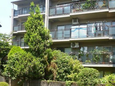 月桂樹の強剪定|マンション専用庭で伸びすぎて周囲の迷惑に 枚方市