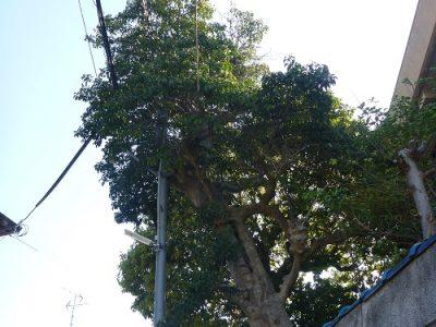 斜めに生えた大木を伐採して欲しい|敷地外の電線にかかって危険 枚方市