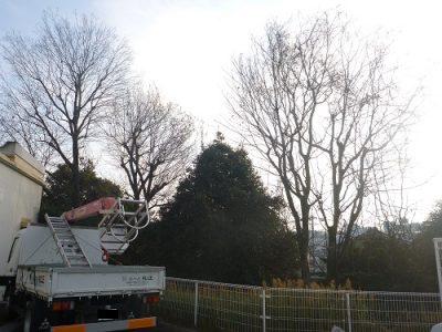 高木3本を強剪定|大量の落ち葉が飛散する10m超えの木を5mの高さに 枚方市