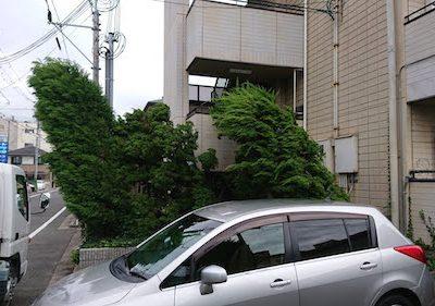 台風で傾いたカイヅカイブキなどの伐採 大阪府堺市 社員寮