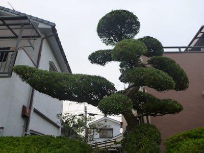 マキなど8本以上の庭木を剪定 大阪府東大阪市