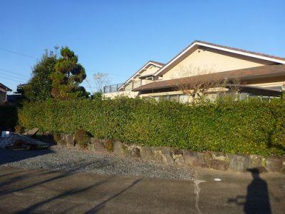 見栄えの悪くなったウバメガシ生垣を剪定 京都府京田辺市