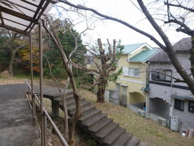 台風に備えてカイヅカイブキの強剪定と枯れ木の伐採 大阪府枚方市