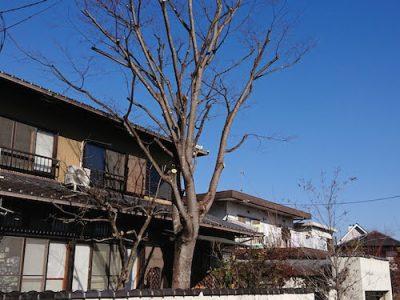 ケヤキをバランスよく強剪定 奈良県生駒市