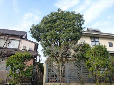 自分で管理するのが難しくなったヤマモモの剪定 京都府京田辺市
