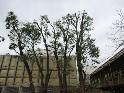 受水槽周辺のアラカシ6本を手入れが少なくなるよう強剪定 大阪府枚方市の病院