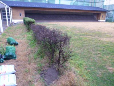 弓道場の枯れたイヌツゲを植え替え 京都市左京区