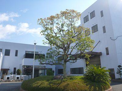 元気が無くなってきた工場のシンボルツリー(クスノキ)を手入れ 京都府八幡市