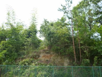 斜面に生えたクヌギの伐採とアカマツの強剪定 大阪府枚方市